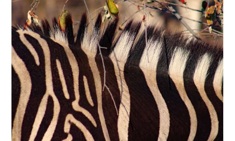 Zebra stripes and their role in dazzling flies