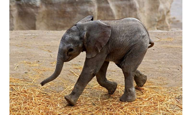 Zoom, the baby elephant whose birth was live-streamed, is seen in the Africam Safari park in Puebla, Mexico on August 14, 2020