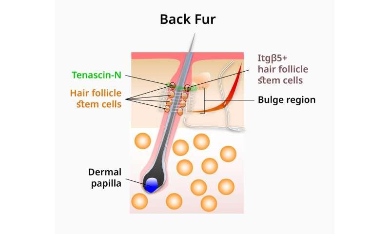 A recipe for regenerating bioengineered hair