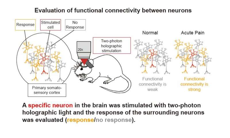 Holographic microscopy illuminates pain-driven changes in neuronal network activity