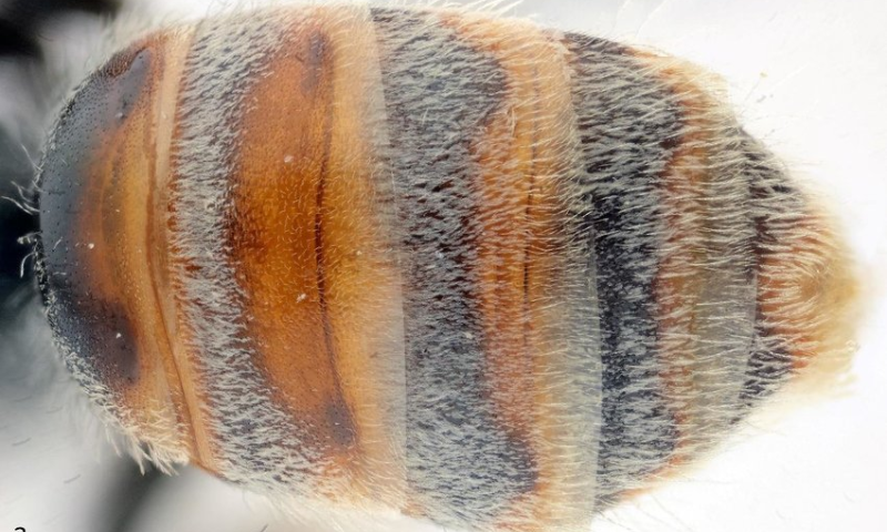 Israeli researchers discover new bee species