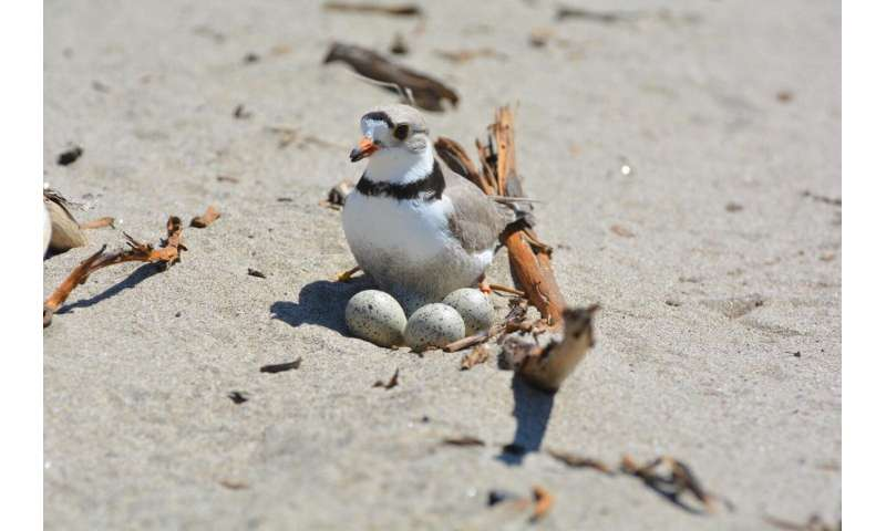 Piping plovers breed less and move more in the northern great plains