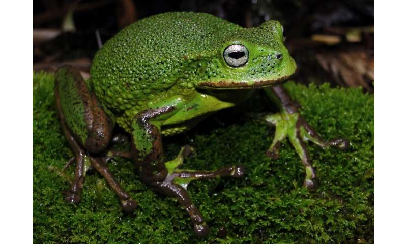 The new species of marsupial frog has thick granular skin and no markings on its belly