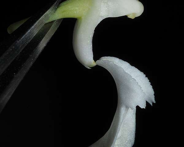 Nueva especie de orquídea dendrobium encontrada en indonesia