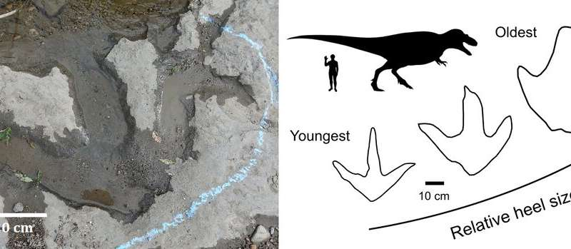Fat-footed tyrannosaur parents couldn't keep up with their skinnier offspring, fossil footprints reveal