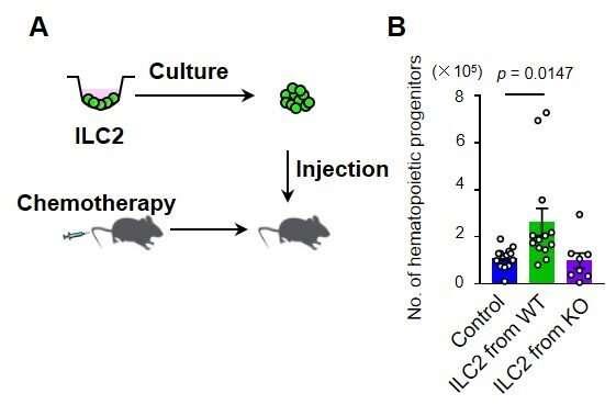 How bone marrow regenerates after chemotherapy