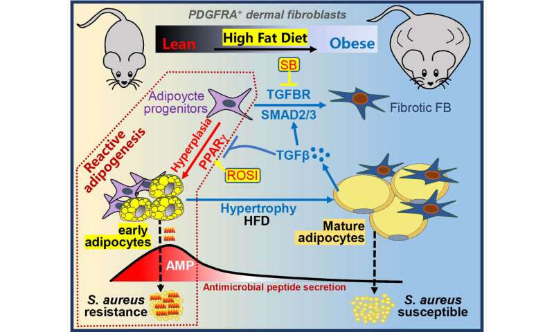 Research identifies obesity and infection link, as well as treatment found on healthy human skin