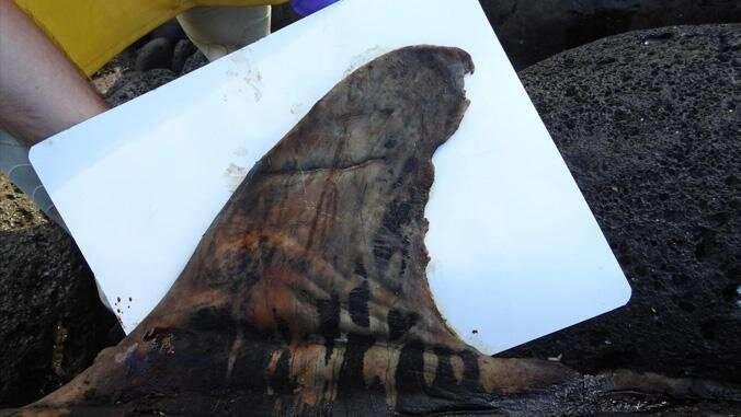 Stranded endangered false killer whale divulges a dietary first