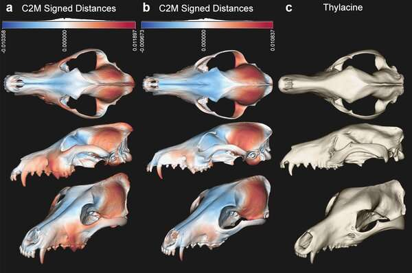 The Tasmanian tiger was no wolfish predator — it hunted small prey
