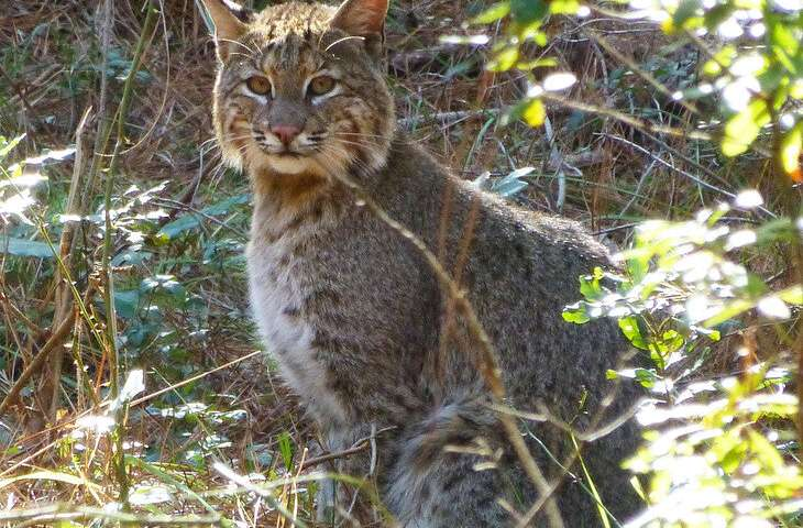 Unique study of isolated bobcat population confirms accuracy of extinction model