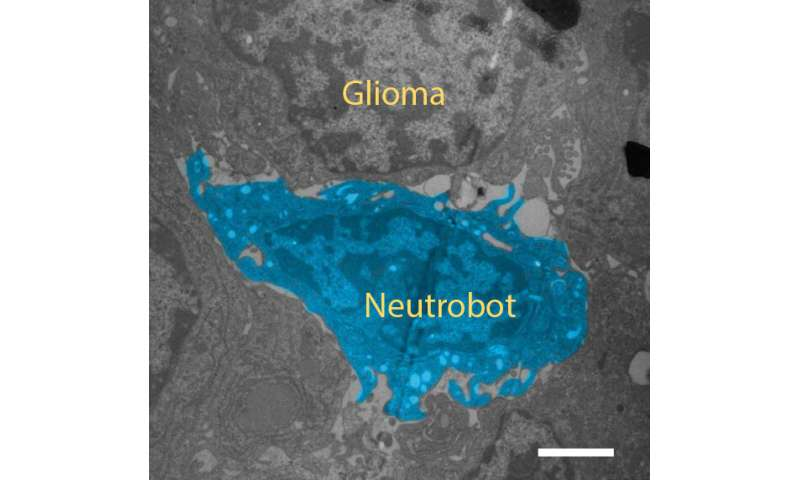"""""""Neutrobots"""" carry drugs through the blood-brain barrier without being attacked by the immune system"""