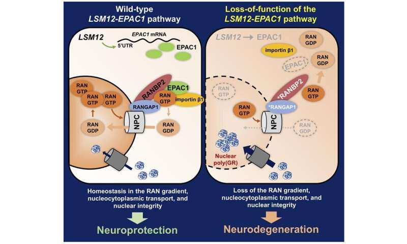 Scientists identify genetic pathway that suppresses Lou Gehrig's Disease