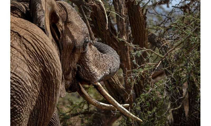 A female African bush elephant munches on an acacia tree in Kenya's Lewa Wildlife Conservancy