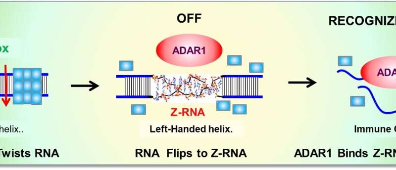 """A Z-RNA nanoswitch encoded by """"junk DNA"""" turns-off immune responses against self"""