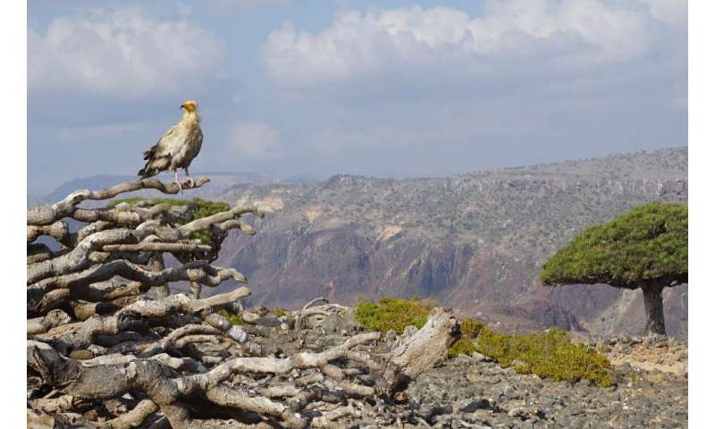 An endangered Egyptian Vulture perches on the dead branches of a Dragon's Blood Tree