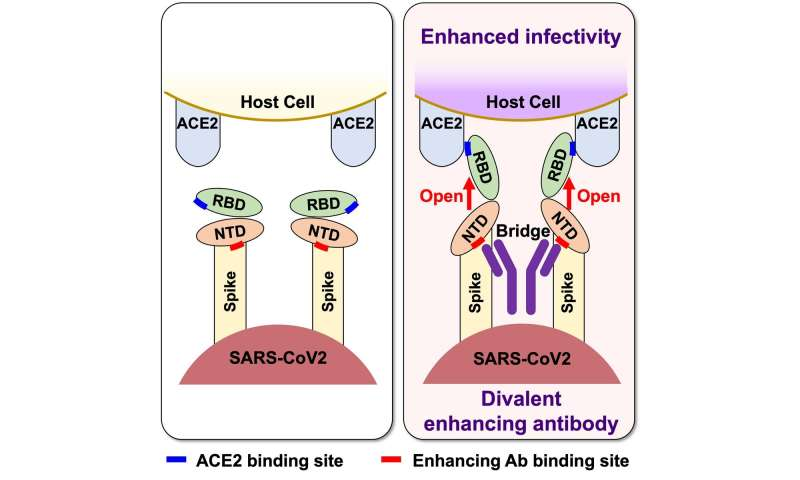 Antibodies that enhance SARS-CoV-2 infection -- A possible factor for severe COVID-19