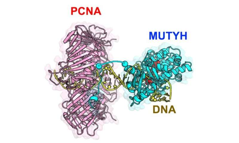 Atomic-level, 3-D structure of MUTYH protein opens small window into DNA repair mechanism
