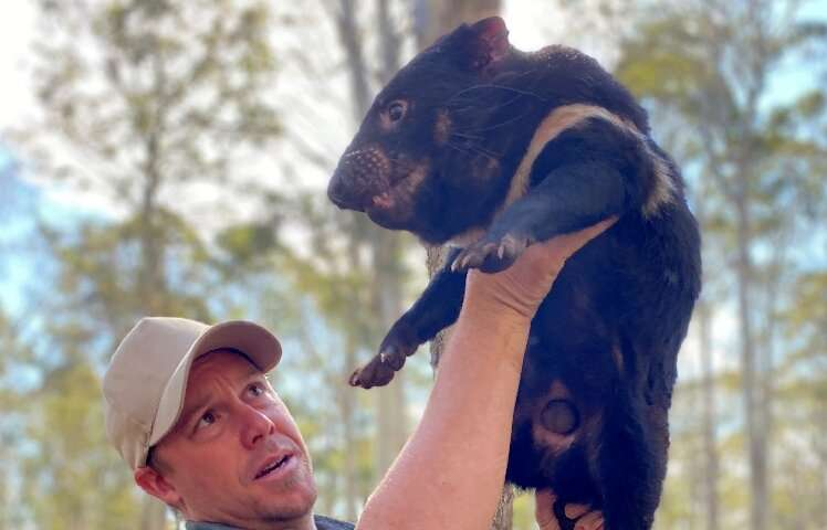 """Aussie Ark President Tim Faulkner said waiting to see if the released adult devils thrived in the wild was """"nerve wracking&"""