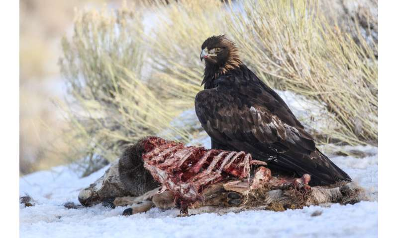 Birds of prey face global decline from habitat loss, poisons