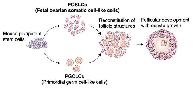 Building the ovarian environment from stem cells