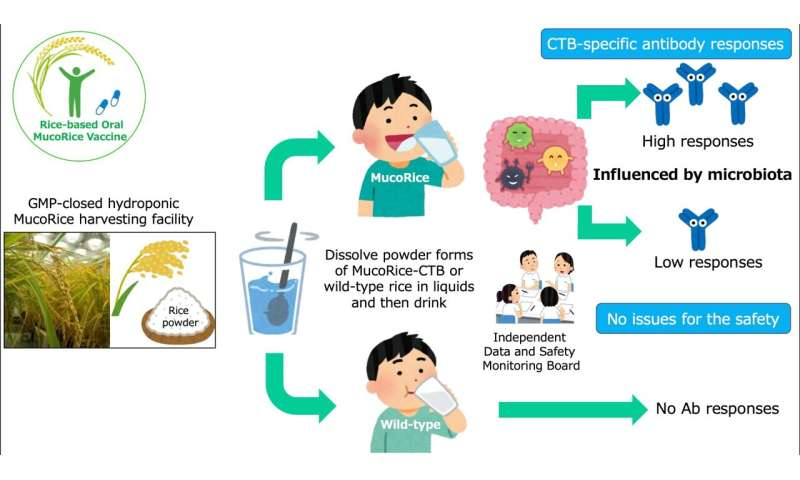 The edible cholera vaccine made with rice powder proves to be safe in phase 1 trials with humans