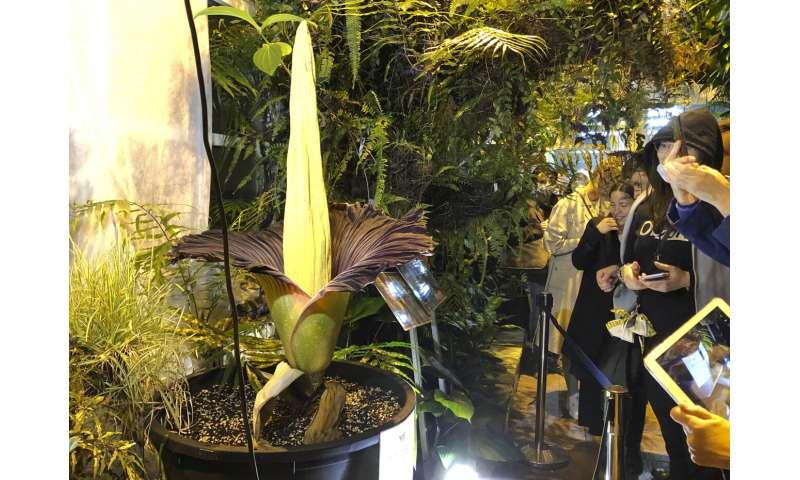 Varsovia florece una flor de cadáver en peligro de extinción, atrayendo multitudes