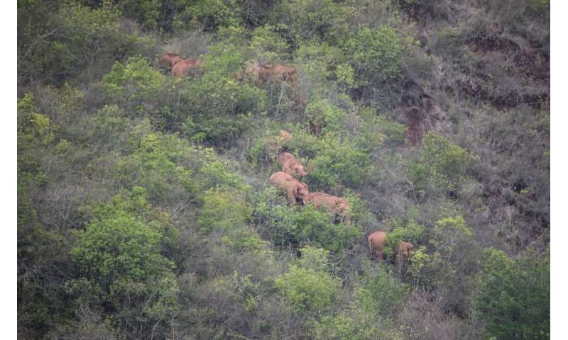 Experts are unsure why the herd left their home at the Xishuangbanna National Nature Reserve late last year