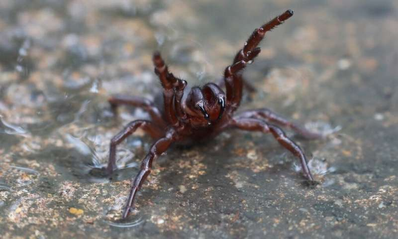 Funnel-web spiders are widely feared for their notoriously toxic and fast-acting venom