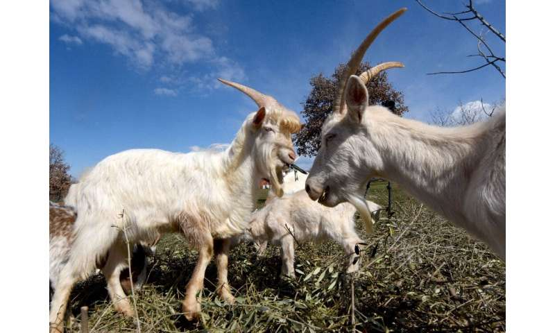 In 2012, the Istrian goat was added to Croatia's list of indigenous and protected species