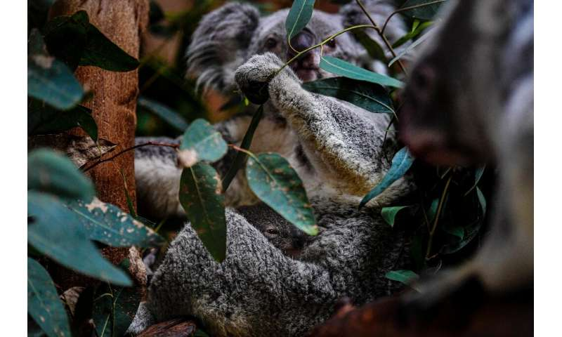 Koalas are considered vulnerable to extinction and face a raft of threats including habitat loss from logging, development and b