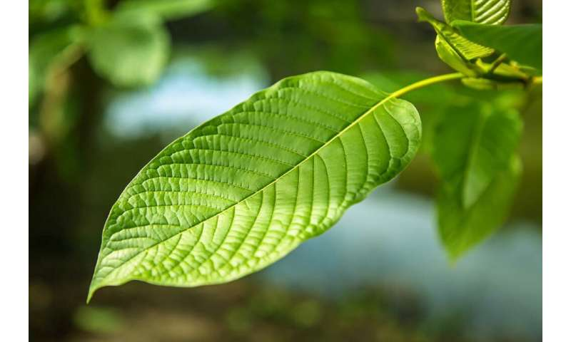 Kratom stimulates the same brain receptors as morphine, though with much milder effects