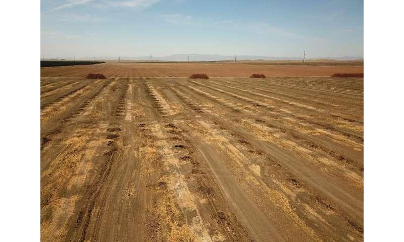 Debido a la falta de agua, los agricultores araron almendros en este campo en Huron, California.