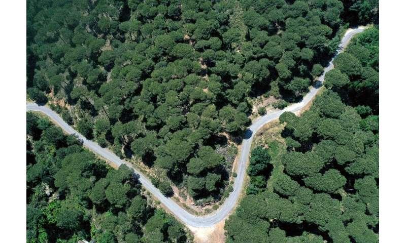 Lebanon's Bkassine pine trees forest south of Beirut