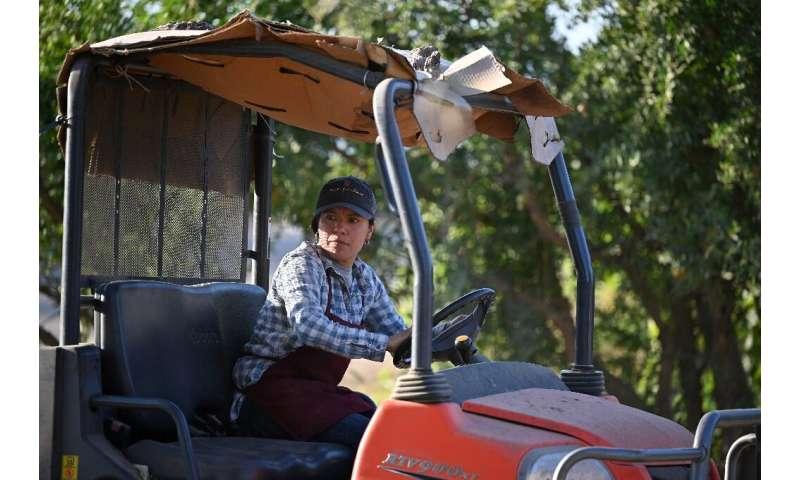 Liset García conduce un tractor en su granja en Reedley, California; la situación de la sequía, dice, es 'bastante terrible'