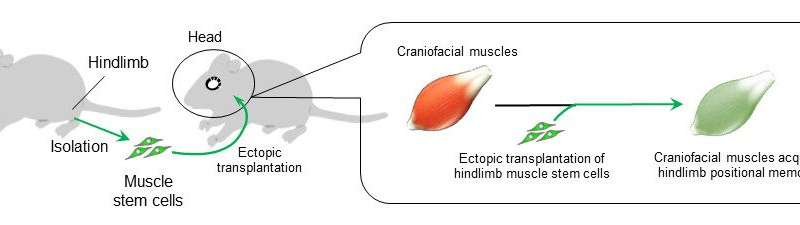 Muscles retain positional memory from fetal life