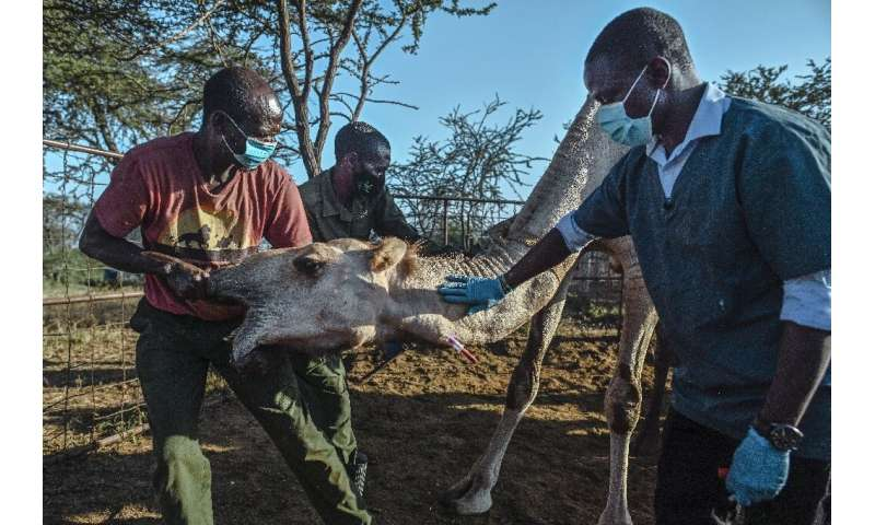 Nelson Kipchirchir, at right, a research associate and resident vet, draws blood from an artery in the neck of a female camel as