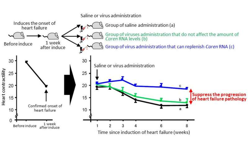 Novel lncRNA, Caren, counteracts heart failure progression
