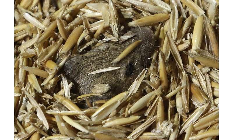Plague of ravenous, destructive mice tormenting Australians