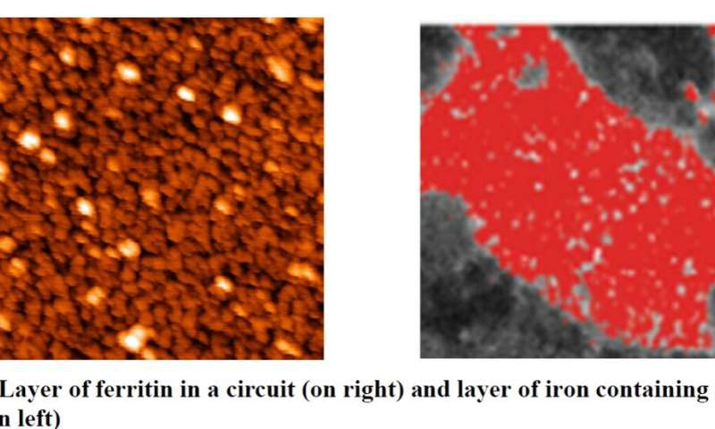 Scientists discover quantum mechanical switching in ferritin structures similar to those found in neural tissue