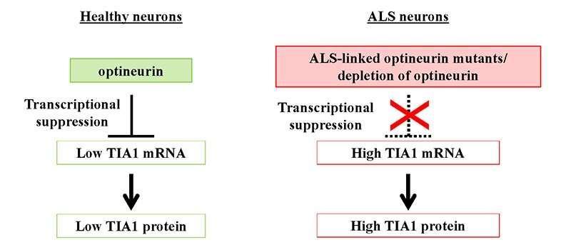Gli scienziati scoprono un ruolo chiave per le proteine coinvolte nella sclerosi laterale amiotrofica