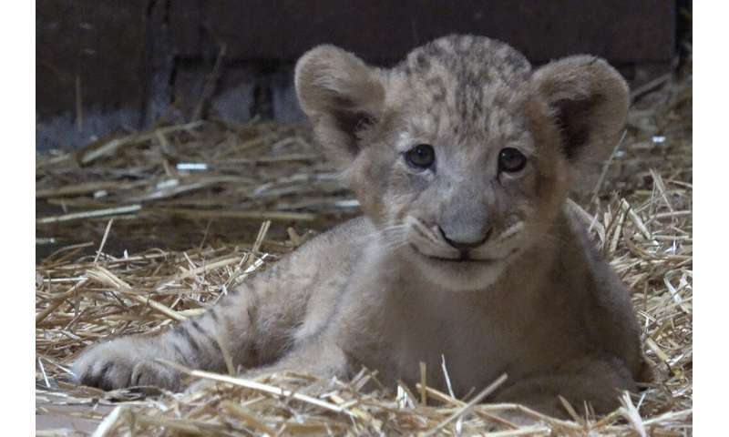 """Singapore's new cub is named after the main character in Disney's """"The Lion King"""""""