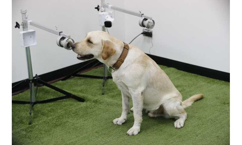 Sniffing Labrador retrievers join Thai coronavirus fight