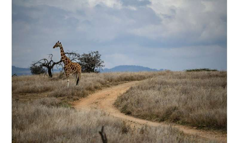 The census said the numbers of lions, zebras, hirolas (Hunter's antelopes) and the three species of giraffes found in the countr
