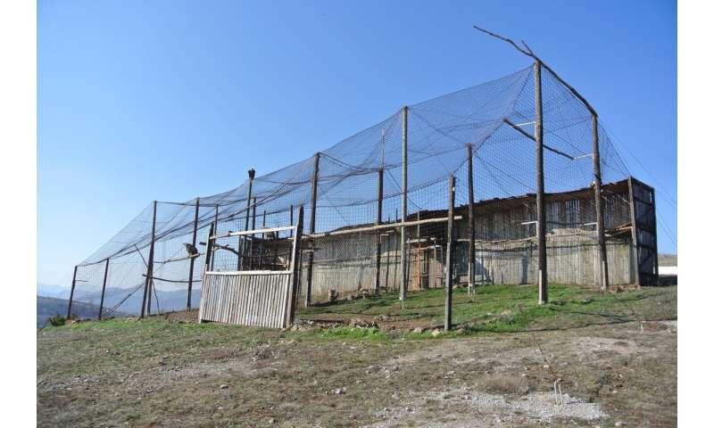 The incredible return of Griffon Vulture to Bulgaria's Eastern Balkan Mountains