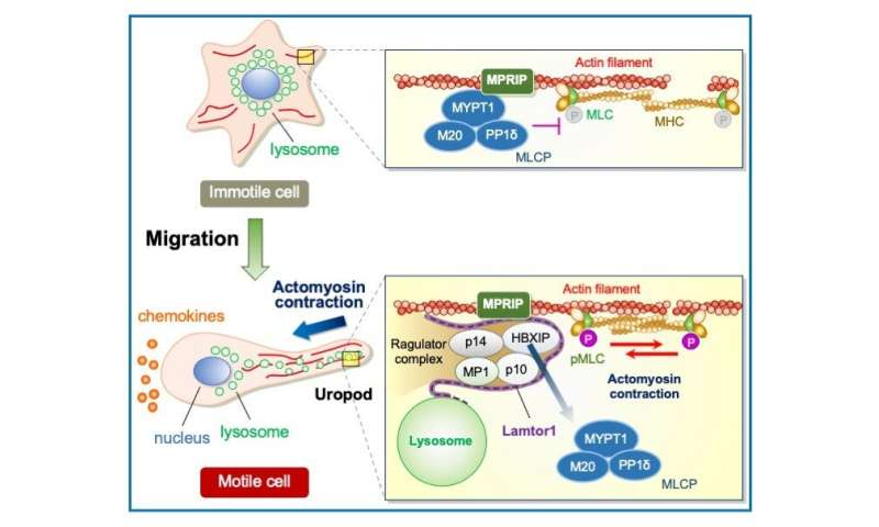 The molecular underpinnings of immune cell migration