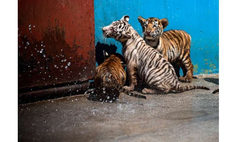 The WWF says about 3,900 tigers remain in the wild
