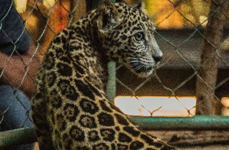The two rescued jaguar cubs, pictured on January 27, 2021, were to spend the next few days getting dewormed and undergoing medic