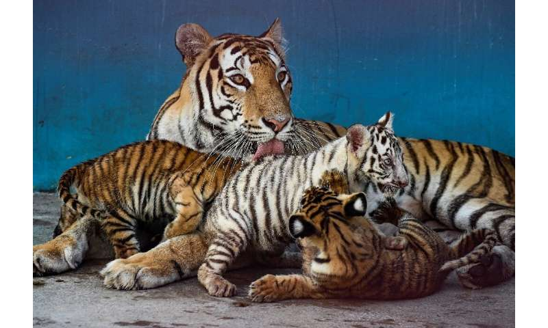 They were the first tiger cub births on Cuban soil in more than 20 years
