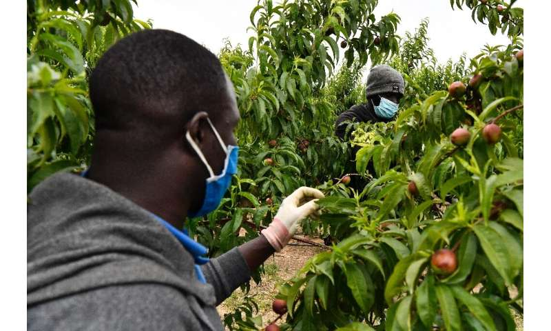 Under Spain's vaccination programme, farm workers have been given priority