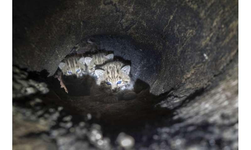 Unusual bobcat tree den found in California fire burn zone